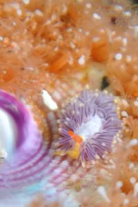 130501伊豆海洋公園ムラサキミノウミウシ