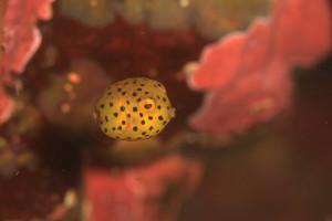 130623伊豆海洋公園ミナミハコフグ幼魚