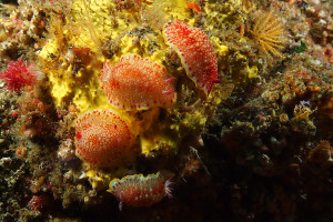 130625伊豆 海洋公園 サラサウミウシ