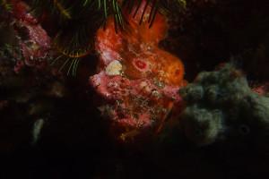 130625伊豆 海洋公園 ベニカエルアンコウ