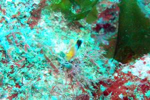 130630伊豆海洋公園キツネベラ幼魚
