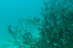130715伊豆 海洋公園アオリイカ