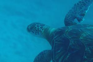130807伊豆 海洋公園アオウミガメ