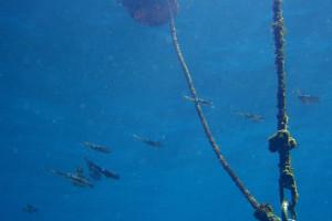 130902伊豆 海洋公園アオリイカ