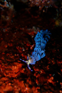 140407伊豆 海洋公園ムカデミノウミウシ