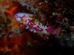 20140628伊豆 海洋公園センヒメウミウシ