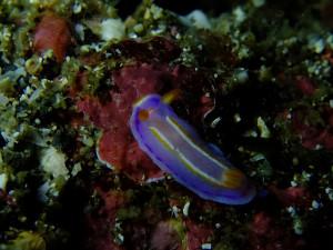 20140628伊豆 海洋公園ハナイロウミウシ
