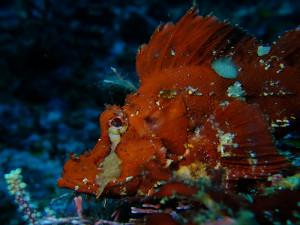 20140730伊豆 海洋公園ナミダカサゴ