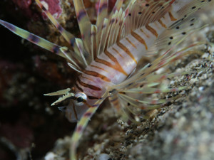 140814伊豆 海洋公園ミノカサゴ幼魚