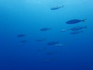 20141001伊豆 ダイビング 伊豆海洋公園ワカシの群れ