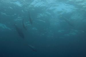20141008伊豆 ダイビング 伊豆海洋公園ヒラマサ