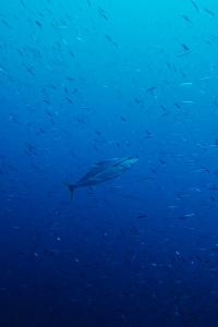 20141117伊豆 ダイビング 伊豆海洋公園ヒラマサ