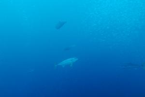 20141117伊豆 ダイビング 伊豆海洋公園ヒラマサ2