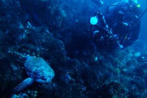 20141119伊豆 ダイビング 伊豆海洋公園アオウミガメ