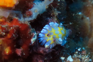 150102伊豆 ダイビング 海洋公園 ボブサンウミウシ