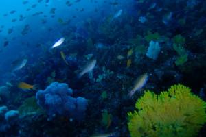 20140320伊豆 ダイビング 伊豆海洋公園 ブリマチ