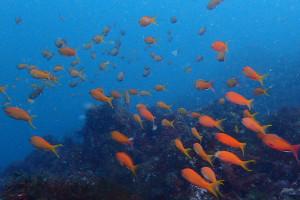 20150329 伊豆 ダイビング 伊豆海洋公園 キンギョハナダイ