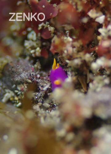20150523伊豆 ダイビング 伊豆海洋公園 ムラサキウミコチョウ