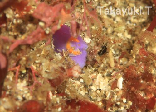 20150530伊豆 ダイビング 伊豆海洋公園 ムラサキウミコチョウ