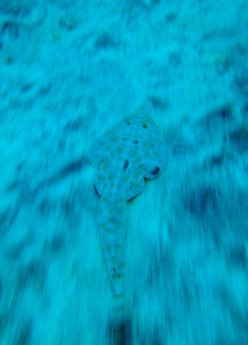 20150601伊豆 ダイビング 伊豆海洋公園 サカタザメ