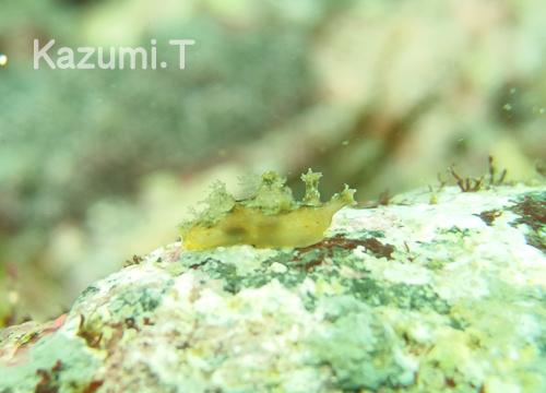 20150627伊豆 ダイビング 伊豆海洋公園 ツメウミウシ