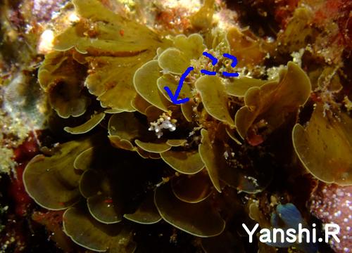 20150628伊豆 ダイビング 伊豆海洋公園 イナバミノウミウシのコピー