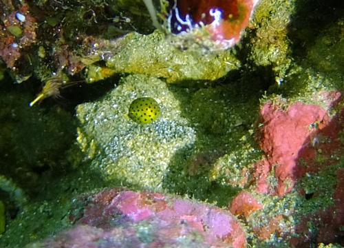 20150616伊豆 ダイビング 伊豆海洋公園 ミナミハコフグ幼魚