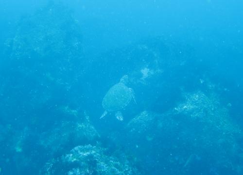 20150612伊豆 ダイビング 伊豆海洋公園 アオウミガメ