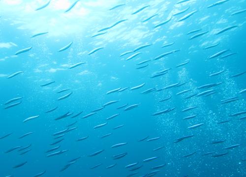 20150612伊豆 ダイビング 伊豆海洋公園 キビナゴ