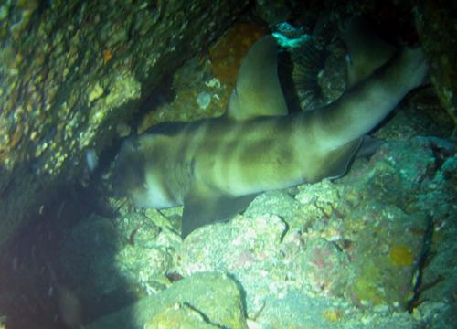 20150613伊豆 ダイビング 伊豆海洋公園 ネコザメ