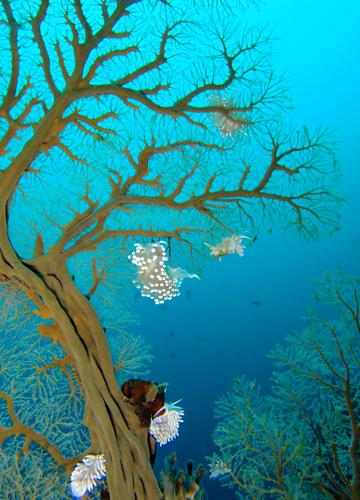 20150604伊豆 ダイビング 伊豆海洋公園 ガーベラミノウミウシ