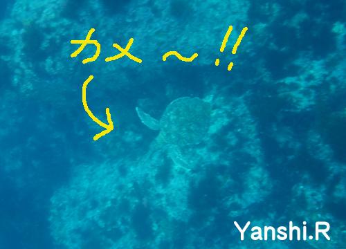 20150628伊豆 ダイビング 伊豆海洋公園 カメのコピー