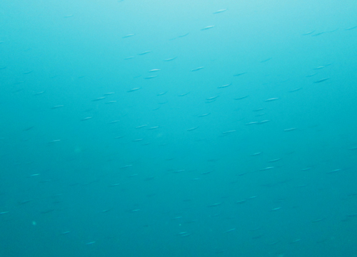 20150608伊豆 ダイビング 伊豆海洋公園 キビナゴ