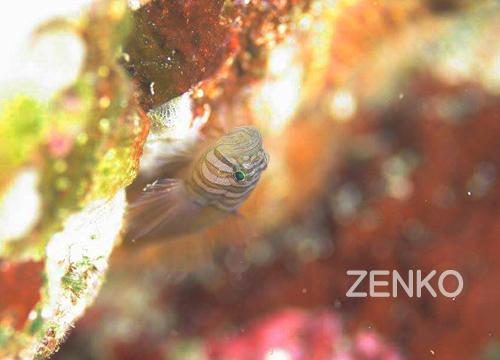 20150704伊豆 ダイビング 伊豆海洋公園 ミサキスジハゼ