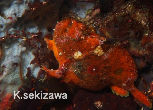 20150808伊豆 ダイビング 伊豆海洋公園 ベニカエルアンコウ1