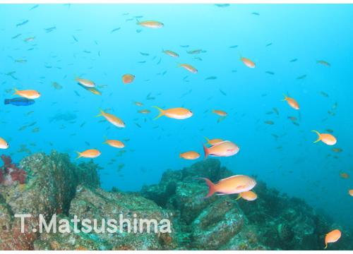 20150805伊豆 ダイビング 伊豆海洋公園 キンギョハナダイ