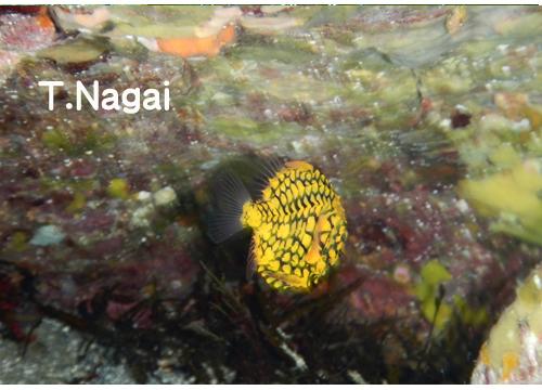 20150803伊豆 ダイビング 伊豆海洋公園 マツカサウオ