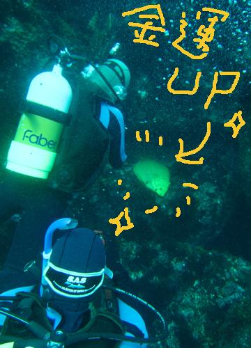 20150929伊豆 ダイビング 伊豆海洋公園 黄金のヒラメ2