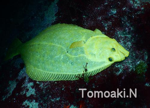20150929伊豆 ダイビング 伊豆海洋公園 黄金のヒラメ1