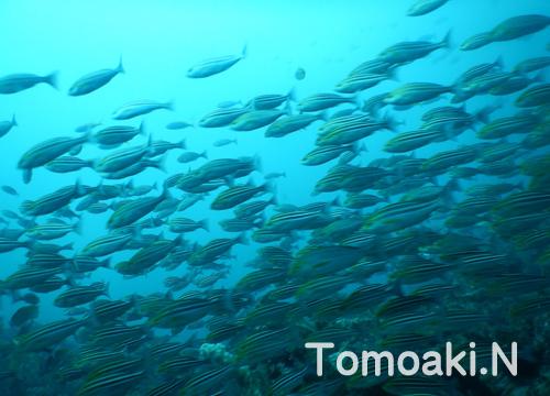 20150929伊豆 ダイビング 伊豆海洋公園 イサキ1