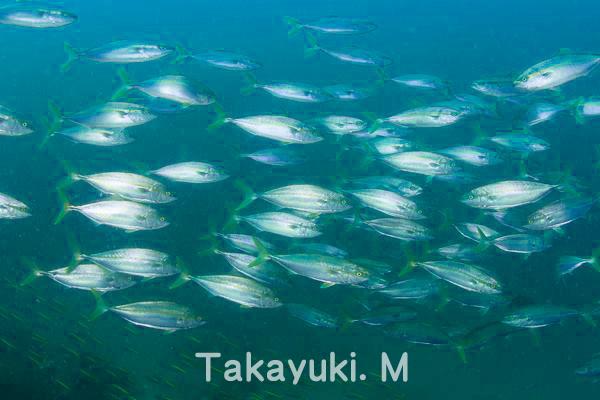 20150923伊豆 ダイビング 初島 イナダの群れ