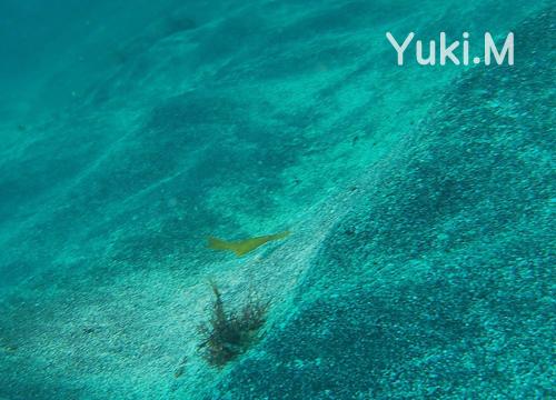 20151010伊豆 ダイビング 伊豆海洋公園 カミソリウオ (1)