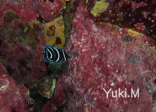 20151010伊豆 ダイビング 伊豆海洋公園 サザナミヤッコ