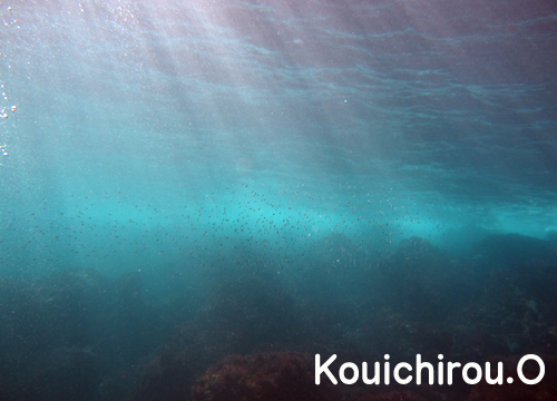20151103伊豆 ダイビング 伊豆海洋公園 ミナミハタンポ