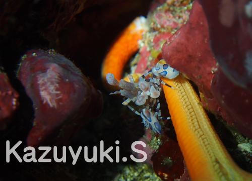 20151121伊豆 ダイビング 伊豆海洋公園 フリソデエビ