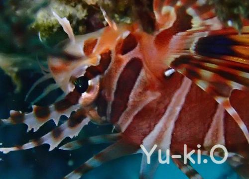 20151031伊豆 ダイビング 伊豆海洋公園 キリンミノ