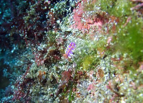 20151226伊豆 ダイビング伊豆海洋公園 ミアミラウミウシ