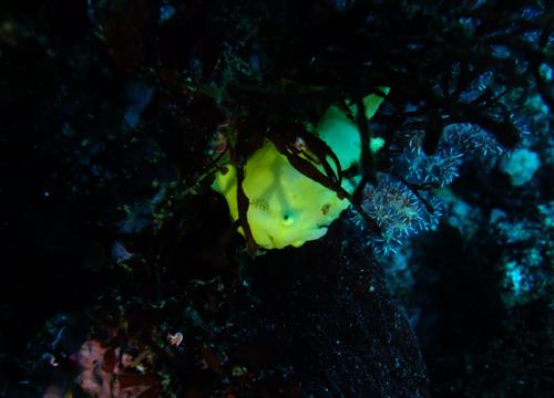 20160102伊豆 ダイビング 伊豆海洋公園 イロカエルアンコウ