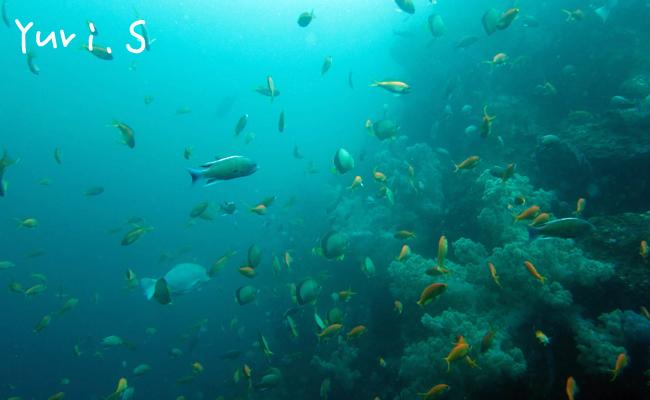 20160612伊豆 ダイビング 伊豆海洋公園 キンギョハナダイ