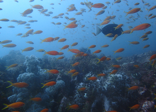 20160702伊豆 ダイビング 伊豆海洋公園 キンギョハナダイ